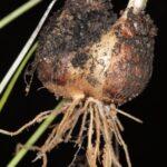 Leucojum trichophyllum Schousb.