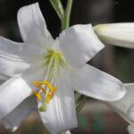 Lilium candidum L.