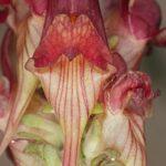 Linaria aeruginea subsp. aeruginea (Gouan) Cav.