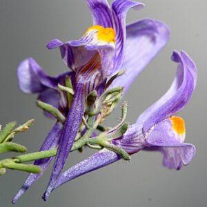 Linaria alpina subsp. alpina (L.) Mill.