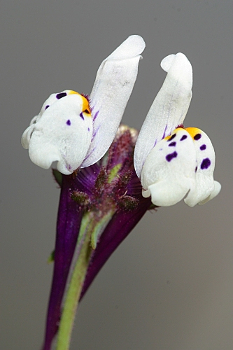 Linaria amethystea subsp. amethystea (Vent.) Hoffmanns. & Link