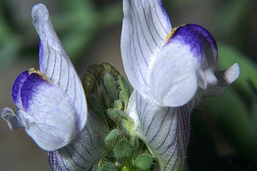 Linaria verticillata subsp. anticaria (Boiss. & Reut.) L. Sáez & M.B. Crespo