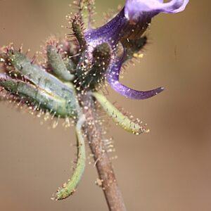 Linaria arvensis (L.) Desf.