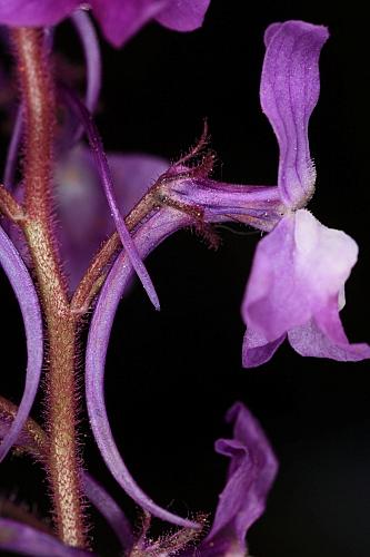 Linaria elegans Cav.