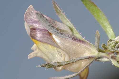 Linaria glacialis Boiss.