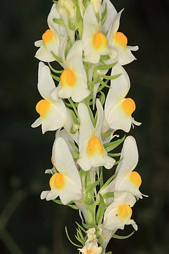 Linaria hirta (Loefl. ex L.) Moench
