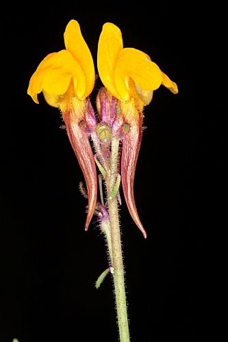 Linaria huteri Lange