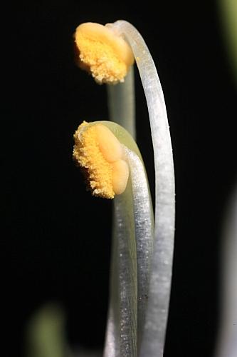 Linaria latifolia Desf.