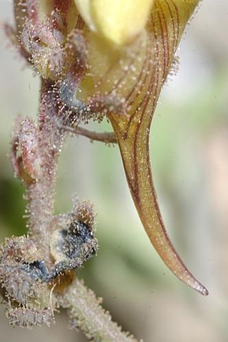 Linaria aeruginea subsp. nevadensis (Boiss.) D.A. Sutton