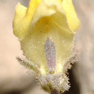Linaria aeruginea subsp. nevadensis (Boiss.) D.A. Sutton
