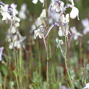 Linaria nigricans Lange