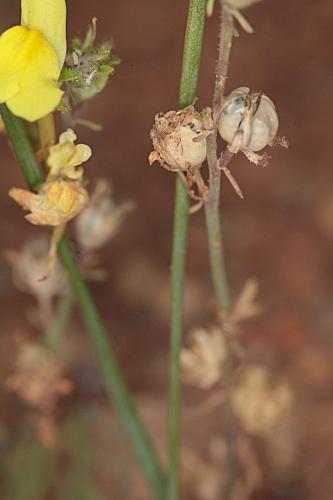 Linaria oblongifolia subsp. benitoi (Fern. Casas) L. Sáez, M.B. Crespo, Juan & M. Bernal