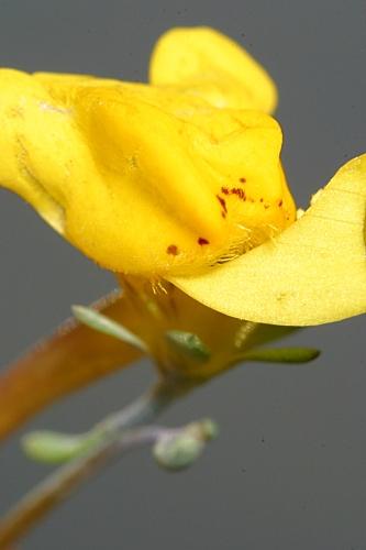 Linaria oligantha subsp. oligantha Lange