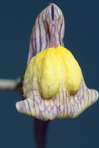 Linaria pedunculata (L.) Chaz.