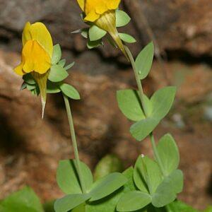 Linaria platycalyx Boiss.