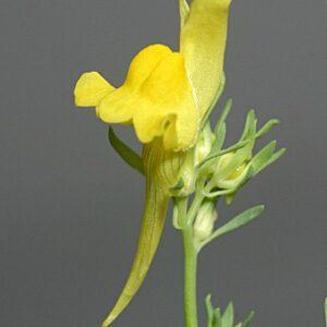 Linaria propinqua Boiss. & Reut.
