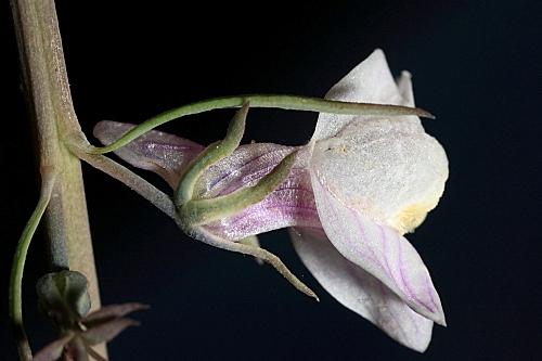 Linaria repens (L.) Mill.