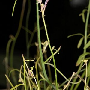 Linaria salzmanii Boiss.