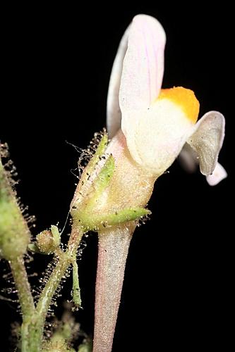 Linaria saturejoides Boiss.
