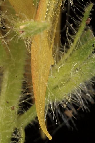 Linaria saxatilis (L.) Chaz.