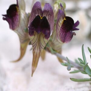 Linaria tristis (L.) Mill.
