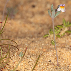 Linaria tursica Valdés & Cabezudo