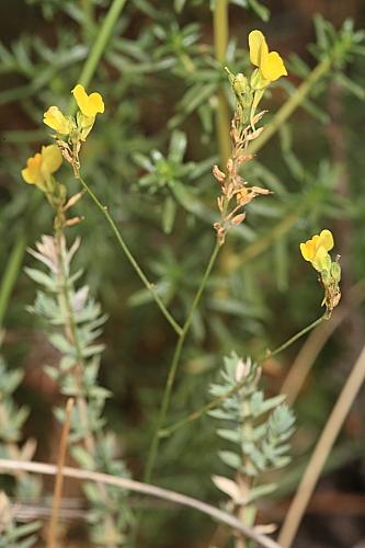Linaria viscosa (L.) Chaz.