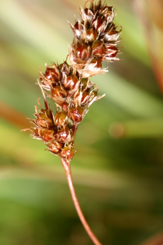 Luzula hispanica Chrtek & Krisa