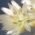 Luzula lactea (Link) E. Mey.
