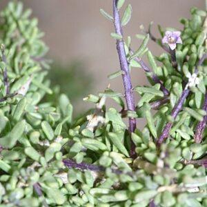 Lycium intricatum Boiss.