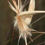 Lygeum sparteum L.