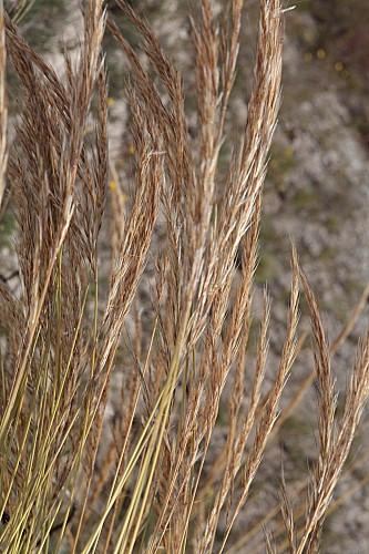 Macrochloa tenacissima (L.) Kunth