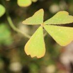 Marsilea strigosa Willd.