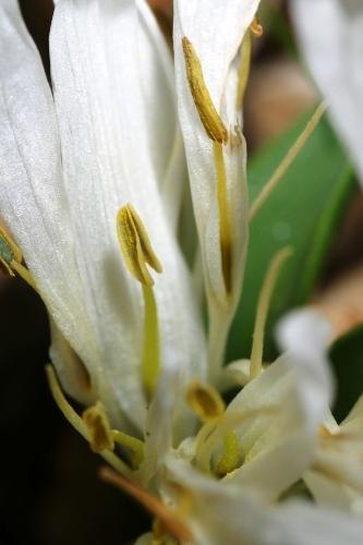 Merendera androcymbioides Valdés