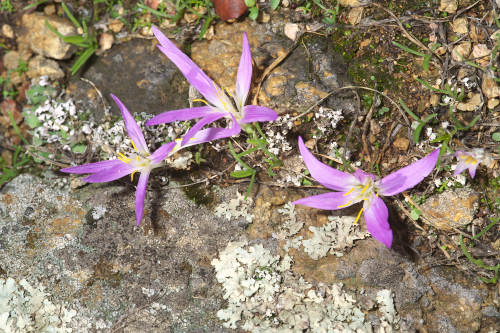 Merendera filifolia Camb.
