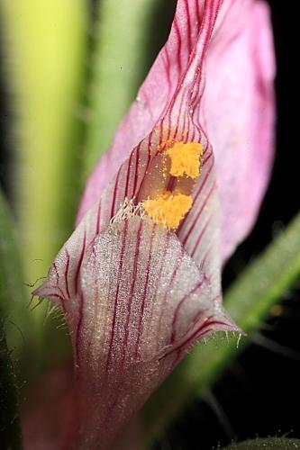 Misopates orontium (L.) Raf.