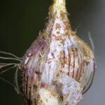 Muscari comosum (L.) Mill.