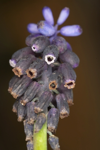 Muscari neglectum Guss. ex Ten.