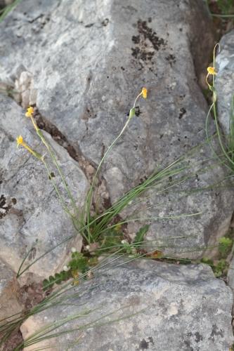 Narcissus assoanus Dufour ex Shult. & Shult.fil.