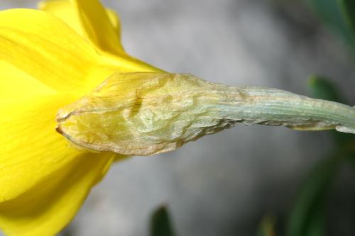 Narcissus bugei (Fern. Casas) Fern. Casas