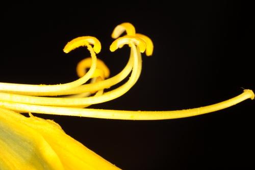 Narcissus bulbocodium L.