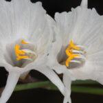 Narcissus cantabricus DC.