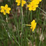 Narcissus cuatrecasasii Fern. Casas