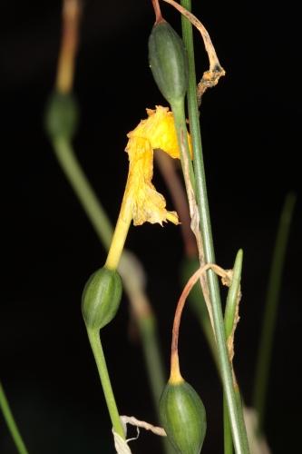 Narcissus fernandesii Gomes Pedro