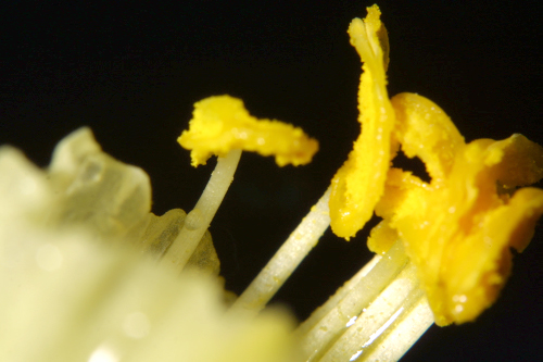 Narcissus hedraeanthus (Webb & Heldr.) Colmeiro