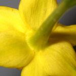 Narcissus jonquilla L.