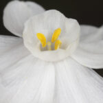 Narcissus papyraceus Ker-Gawl.
