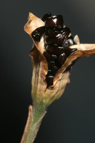 Narcissus serotinus L.