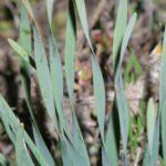 Narcissus tortifolius Fdez. Casas