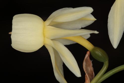 Narcissus triandrus subsp. pallidulus (Graells) Rivas Goday